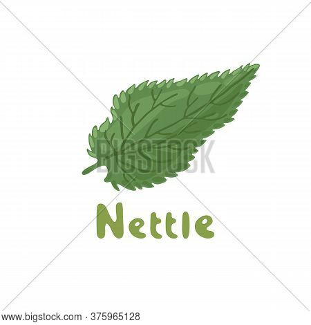 Nettle Herb, Medicinal Plant. Green Leaf Of Nettle. Vector Botanical Illustration Of Nettle. Cosmeti