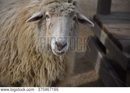 Farmyard Sheep With An Underbite And A Wooly Coat.