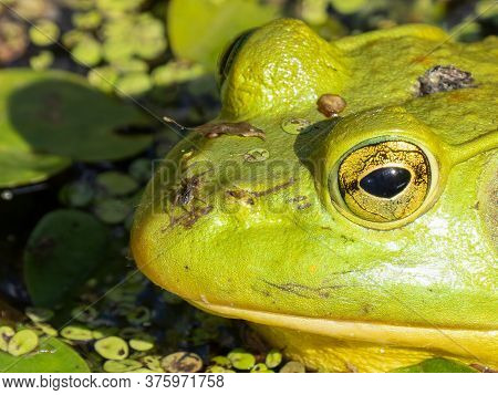 Bright Green Frog With A Spider Is Hidding In The Lily Pads On A Sunny Day