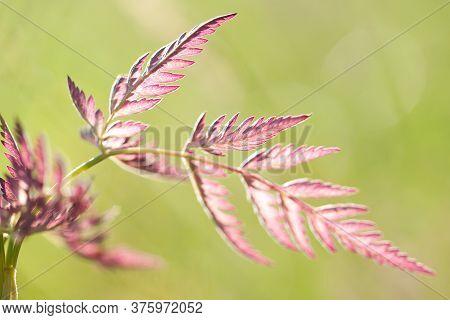 Beautiful Burgundy Fresh And Openwork Leaf Of Grass In The Sun