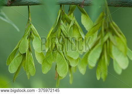 New Seeds Of Ash Similar To Wings, Hanging In A Group On A Branch