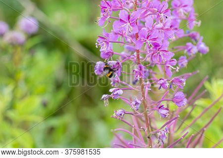 Closeup Of A Beautiful Violet Wildflower With A Bumblebee. Picture From Scania, Southern Sweden