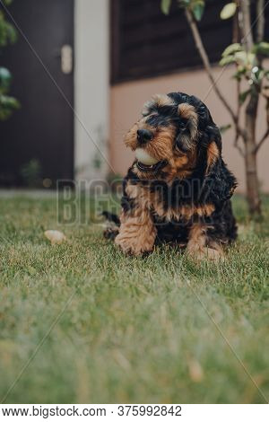 Cute Two Month Old Cockapoo Puppy In A Garden, Playing With A Ping Pong Ball He Stole While The Owne