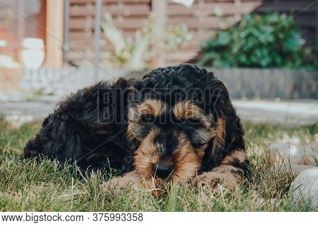 Cheeky Two Month Old Cockapoo Puppy Relaxing On A Grass In The Garden, Looking At The Camera, Select
