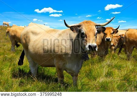 beautiful cow in meadow- Aubrac cow