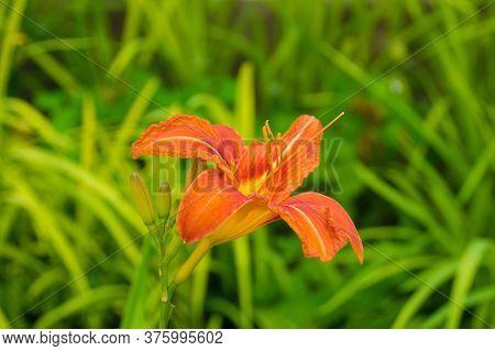 An Orange Hemerocallis Fulva Flower Growing Wild In Friuli, Italy. Also Called Orange Daylily, Tawny