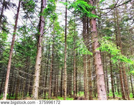 Spruce Forest, Pinery, Pine Forest, Pine Tree, Fairy Forest, Untouched Spruce Forest