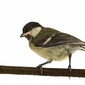 Great Tit - Parus major (6 weeks) on its perch in front of a white background poster
