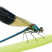 Banded Demoiselle in front of a white background poster