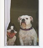 a boston terrier and a bulldog look through a screened window poster