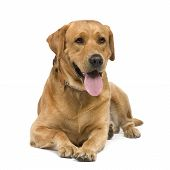 Labrador (3 years) in front of a white background poster