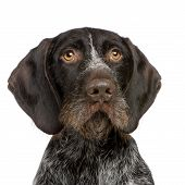 German Shorthaired Pointer (4 years) in front of a white background poster