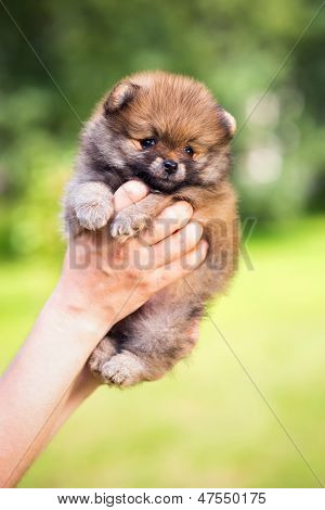 Pomeranian Puppy In Hand Person