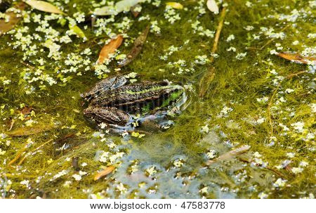 Frog On The Algae In The Pond
