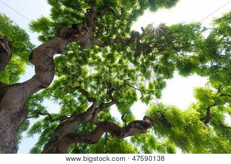 Beautiful, ethereal, artistic view up into the canopy of a majestic majestic elm tree. Long twisted gnarled branches reach up into the sky to present the gentle clusters of the green leaves. poster