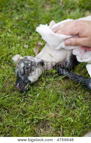 Hands Cleaning Newborn Lamb
