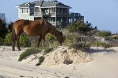 Wild horses graze in the protected northern tip of the Outer Banks in Corolla, North Carolina among the houses. poster