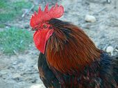 this is a close up of a rooster poster