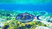 Arabian surgeonfish deep underwater deep red sea poster