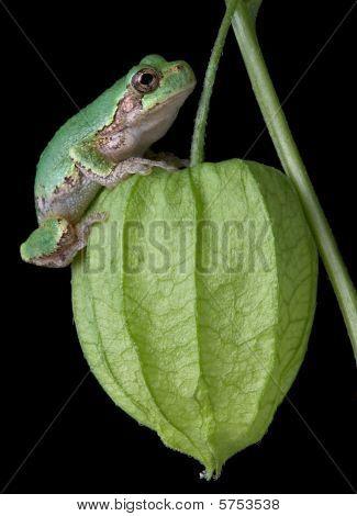 Gray Tree Frog On Chinese Lantern
