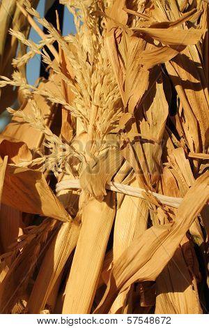corn stalks up close in sunlight