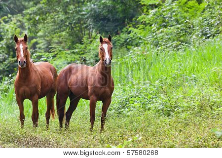 Two Horses In Belize