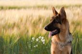 German shepherd dog playing in a firled of wheat poster