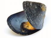 Closeup of mussel on a white background. poster
