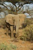 An elephant bull charging towards approaching lions in Samburu national reserve, Kenya poster