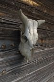 wild, skull, cow, ranch, animal, bleached, bones, old, wall, tree, texture poster