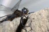 Common Darter Dragonfly perched on a ledge. poster