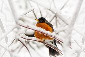 An American Robin red breast Turdus migratorius an iconic herald of spring caught in a late spring or early winter snow and ice storm. poster