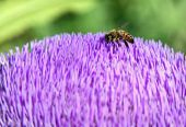 Beautiful purple / lilac artichoke flower and honey bee poster
