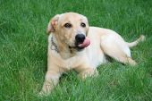 picture of a cute labrador retriever standing on grass poster