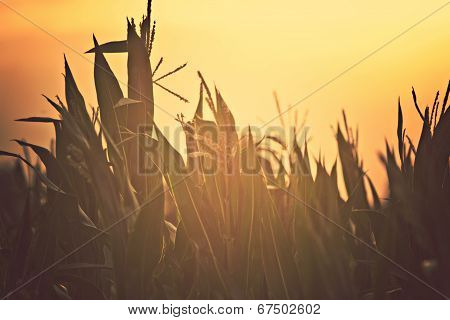 Sunset In Cornfield