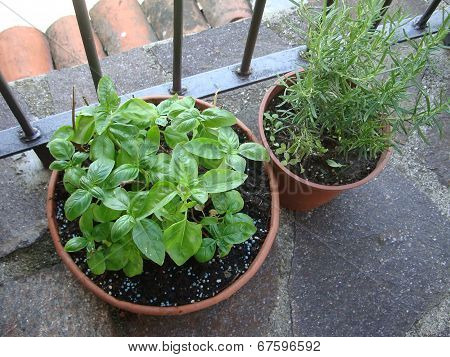 Basil and Rosemary herb plant in a earthenware pot on the balcony.garden at home