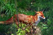a photo of a fox in summertime poster
