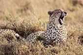 Cheetah yawning in the Masai Mara reserve in Kenya Africa poster