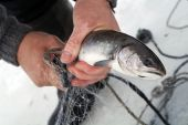fisherman pulls out fish from under ice poster