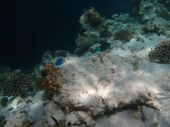 Beautiful underwater world on the reef in the Maldives poster
