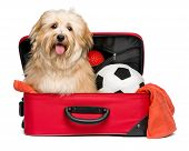 Happy reddish Bichon Havanese dog is sitting in a red traveling suitcase with his soccer ball and toys and waiting for departure - Isolated on a white background poster