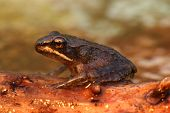 Wood Frog (Rana sylvatica) on a log with a green background poster