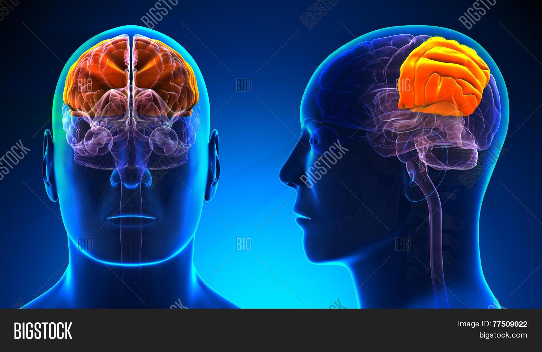Male Parietal Lobe Image & Photo (Free Trial) | Bigstock
