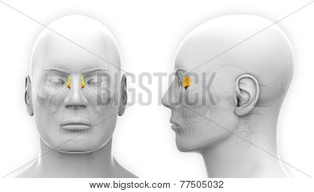 Male Lacrimal Skull Anatomy - Isolated On White