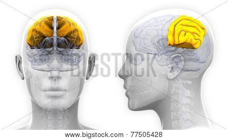 Female Parietal Lobe Brain Anatomy - Isolated On White