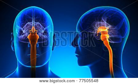 Male Spinal Cord Brain Anatomy - Blue Concept