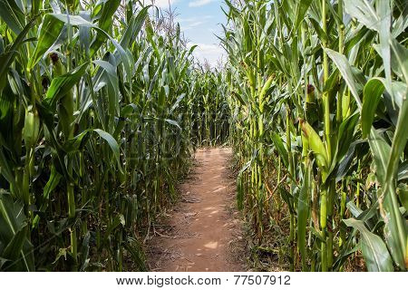 Corn Field  Labyrinth