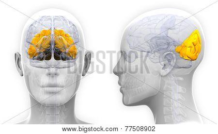 Female Occipital Lobe Brain Anatomy - Isolated On White