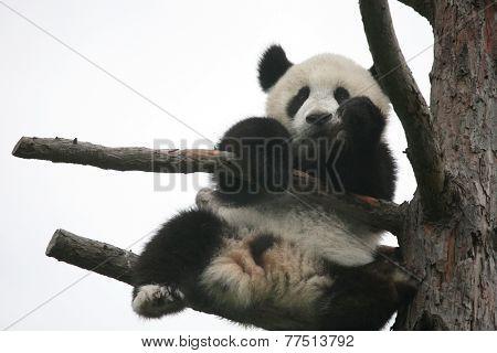 Giant panda cub (Ailuropoda melanoleuca).