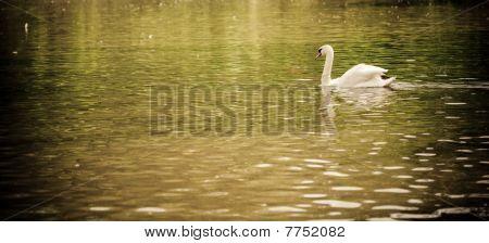 Swan wide angle